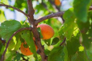arboles-frutales-poda