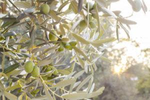 epoca-de-poda-del-olivo