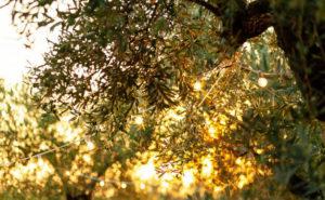 epoca-de-poda-olivo