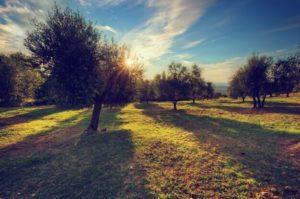 poda-del-olivo-epoca