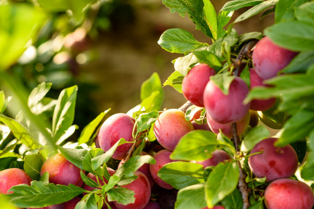poda-de-arboles-frutales